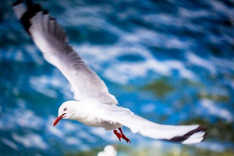 Seagulls at Mangonui Wharf