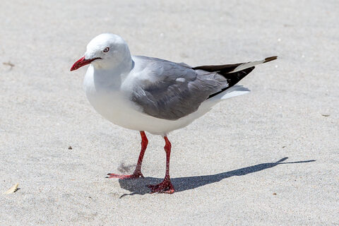 Seagulls at Pakiri