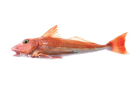 Red Gurnard
